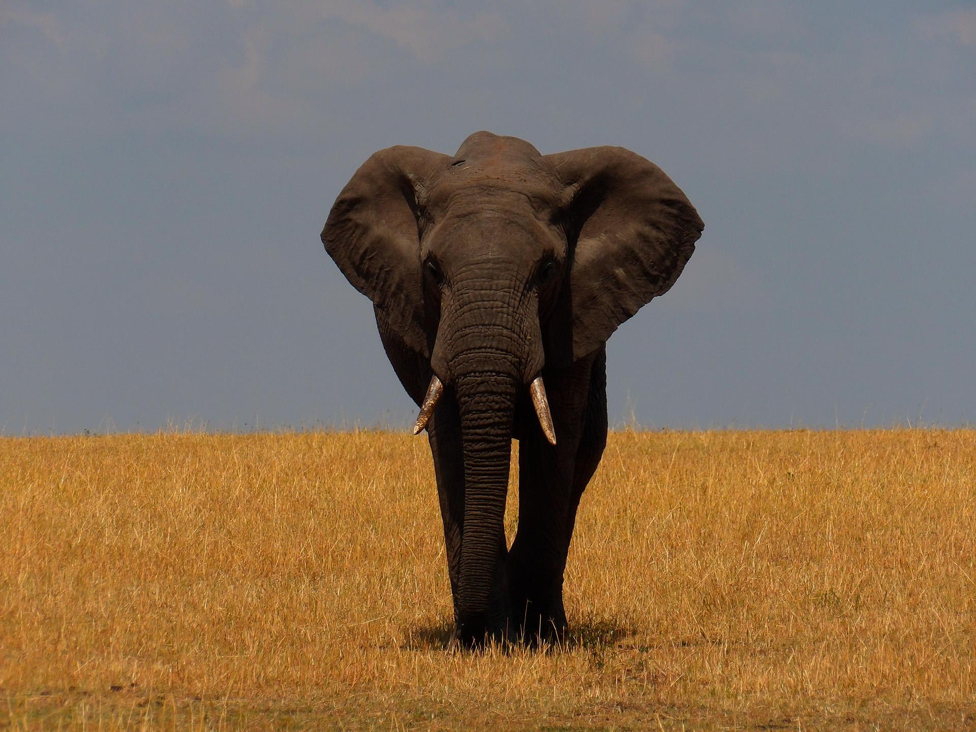 Eléphant avançant à travers le Tarangire National Park. Tanzanie