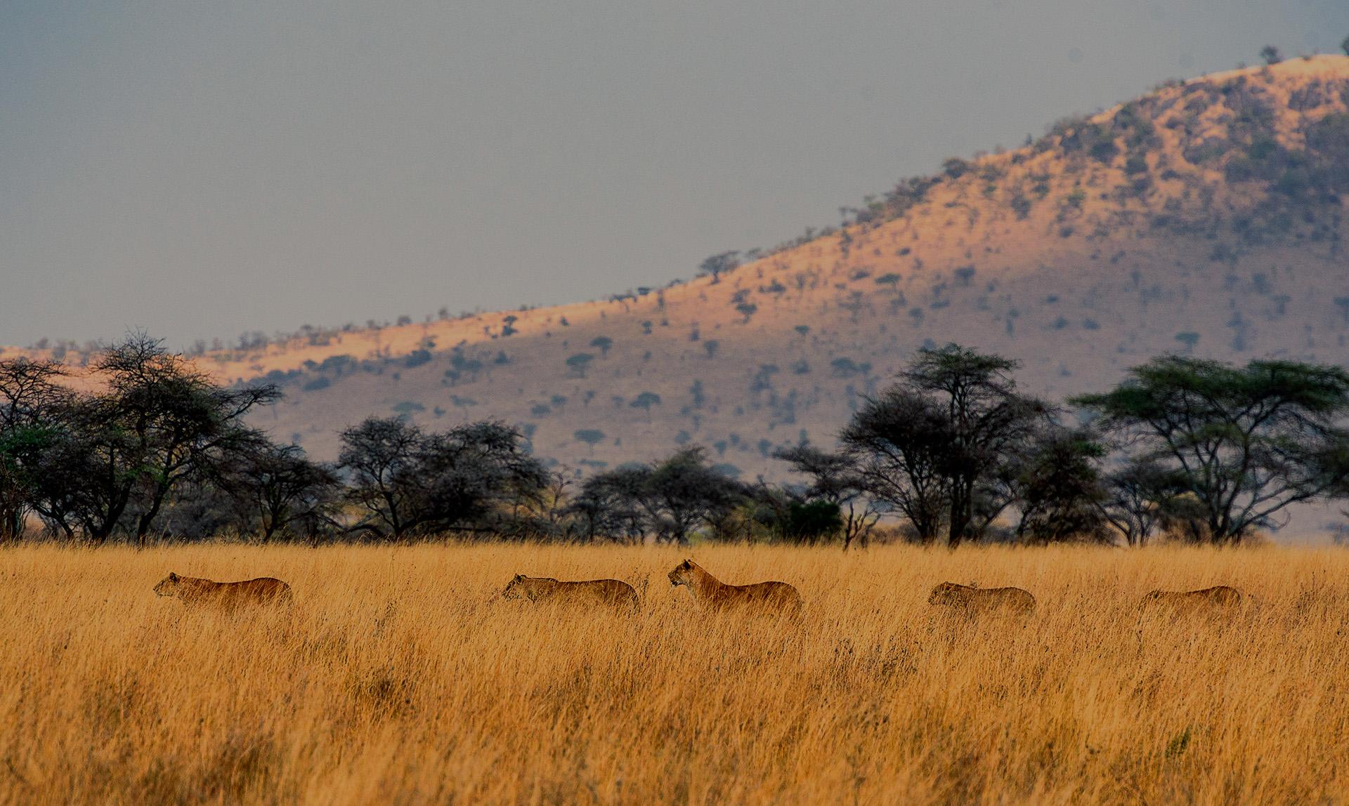 Traversée de Lion dans le parc du Serengeti en Tanzanie