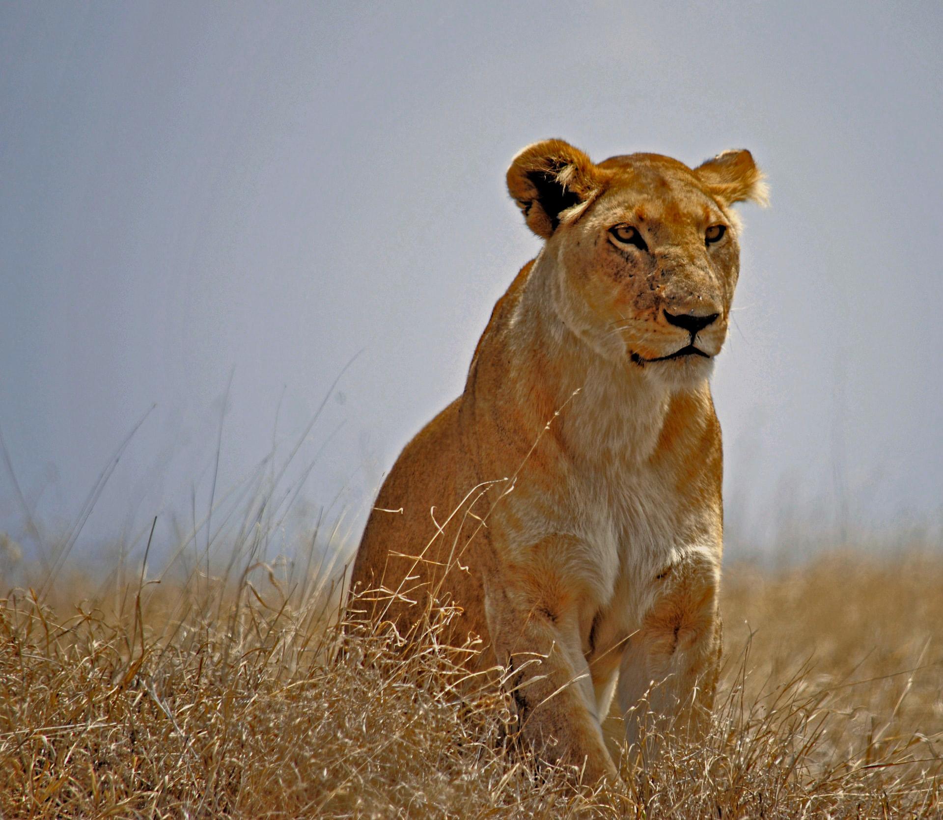Lion aux aguets. Parc National Du Serengeti, Tanzanie